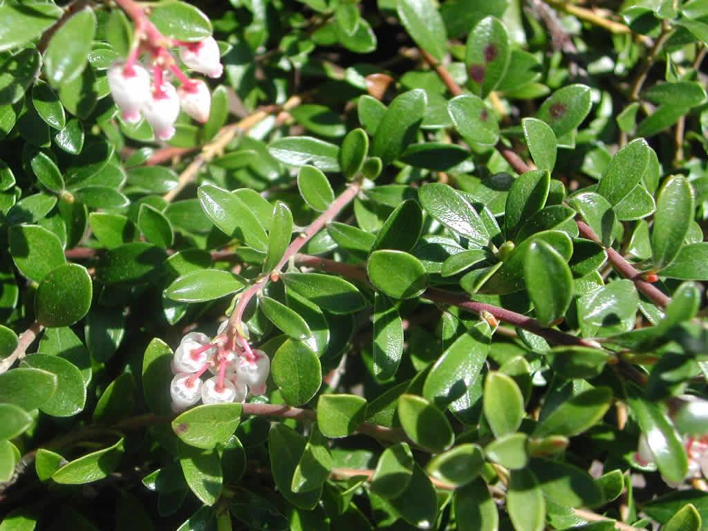Arctostaphylos uva-ursi -02