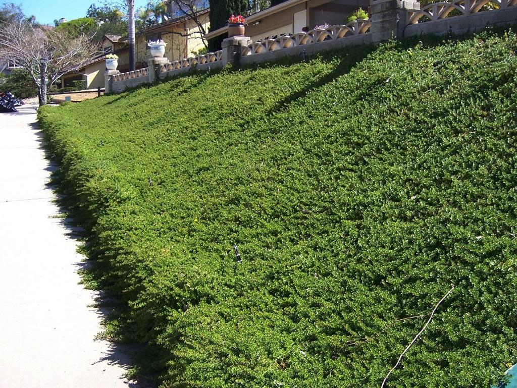 Myoporum parvifolium-02